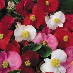 Begonia 'Lotto Mixed'