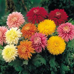 Chrysanthemum 'Decorative'