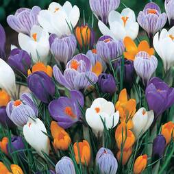 Crocus 'Dutch Large Flowering' (Spring Flowering)