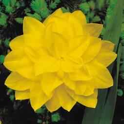 Daffodil 'Dick Wilden'