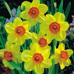 Daffodil 'Birma'