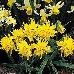 Daffodil 'Rip van Winkle'