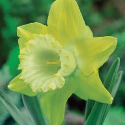 Daffodil 'Spellbinder'