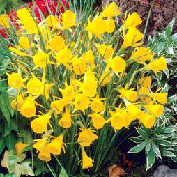 Daffodil 'Golden Bells'