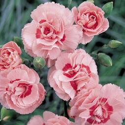 Pinks 'Doris' (Clove Scented)