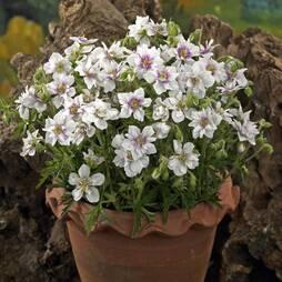 Geranium pratense 'Double Jewel' (Hardy)