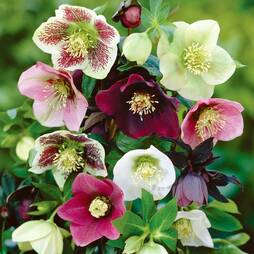 Hellebore 'Mixed' (Lenten Rose)