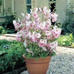 Lavatera x clementii 'Barnsley Baby' (Large Plant)