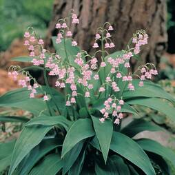 Lily of the Valley 'Pink'