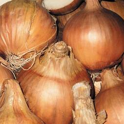 Onion 'Sturon'