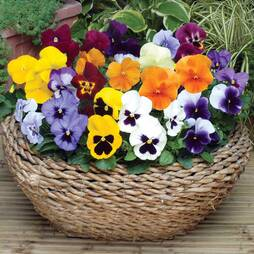 Pansy 'Summertime Mix'