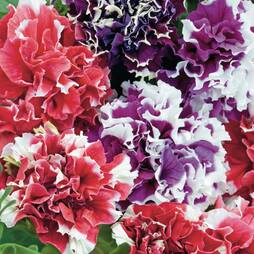 Petunia 'Double Picotee Mix'
