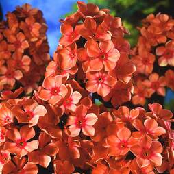 Phlox 'Orange Perfection'