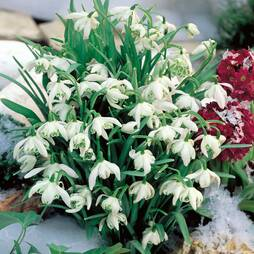 Snowdrops (Double Flowered)