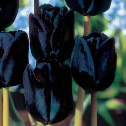 Tulip 'Black Satin'