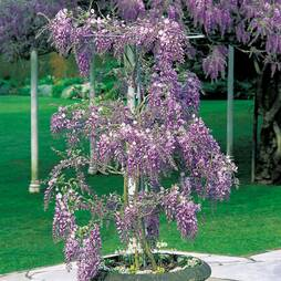 Premium Wisteria Standard with growing frame