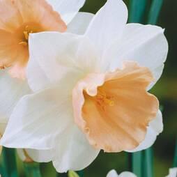 Daffodil 'Salome'