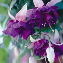 Fuchsia 'Deep Purple' (Giant)