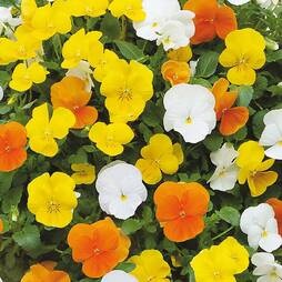 Pansy 'Citrus Mixed'