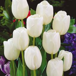Tulip 'White Dream'