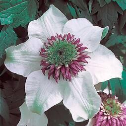 Clematis florida var. florida 'Sieboldiana'