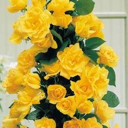 Rose 'Golden Showers'