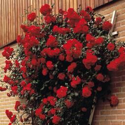 Rose 'Pauls Scarlet'