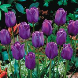 Tulip 'Purple Flag'