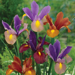 Iris 'Tiger Mixed'