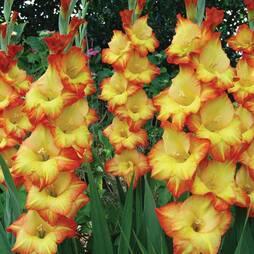 Gladiolus 'Princess Margaret Rose'