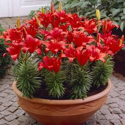 Lily 'Red Carpet'