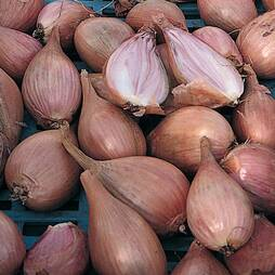 Shallot 'Longor French'