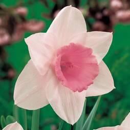 Daffodil 'Pink Pride'