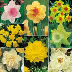 Daffodil 'Lover's Collection'