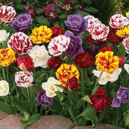 Tulip 'Colour Carnival Mixed'