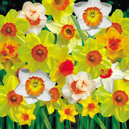 Daffodil 'Cornish Red Cup Mixed'