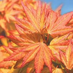 Acer 'Orange Beauty'
