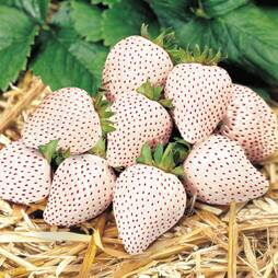 Strawberry 'Snow White'