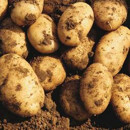 Potato 'Maris Peer'