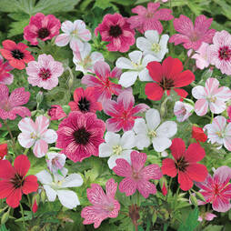 Geranium 'Red Passion Mix' (Hardy)