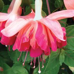 Fuchsia 'Orange King'
