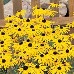 Rudbeckia fulgida var. sullivantii 'Goldsturm' (Garden Ready)