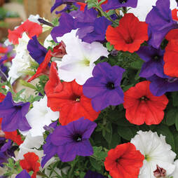 Petunia 'Express Union Jack Mix'