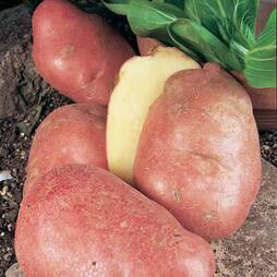 Potato 'Desiree'