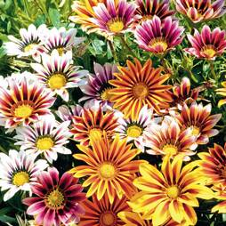 Gazania 'Stars In Stripes'