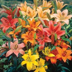 Nurserymans Choice Lilies