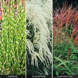 Miscanthus Grass Collection