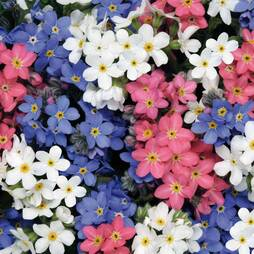 Forget-Me-Not 'Sylva'