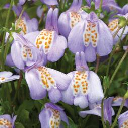 Mazus Creeping Orchid