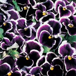 Pansy 'Moonlight Eclipse'